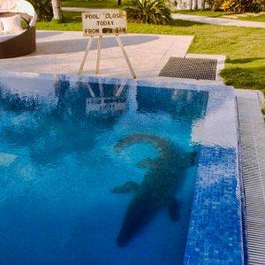 Alligator in Pool.jpg