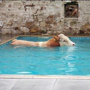 Cow in Pool.JPG
